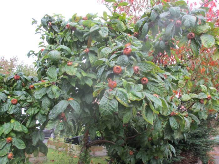 A medlar tree, not a common sight