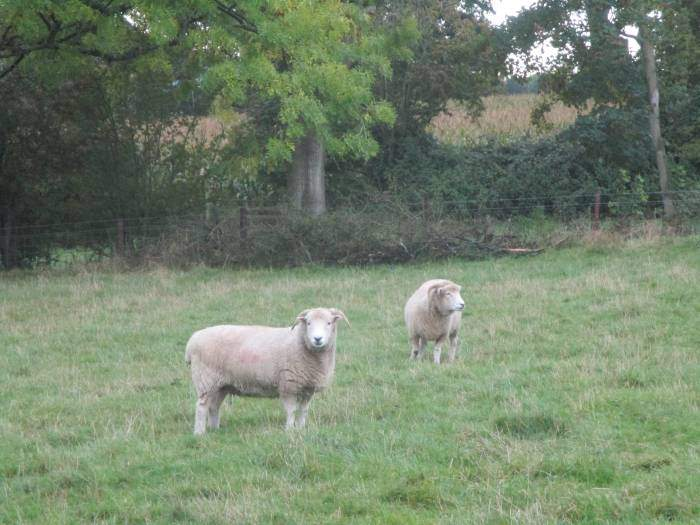 What breed of sheep are these?