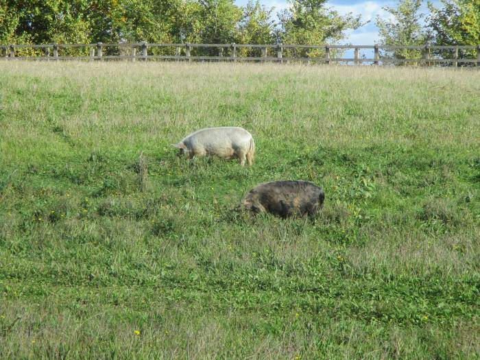 Two contented pigs