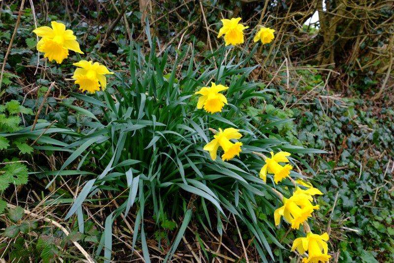 Some early daffs