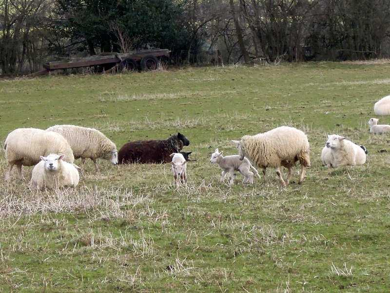 They do have Spring lambs. We spot one who has lost its mother and is trying everyone.