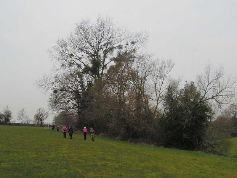 Plenty of mistletoe