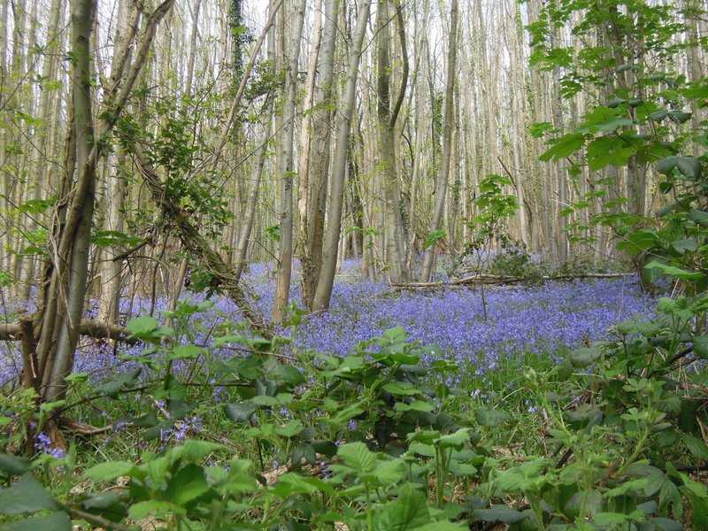 The first bluebells up Bright's Hill