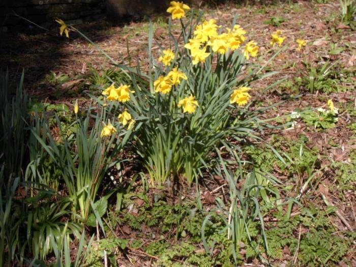 Daffodils on the canal bank
