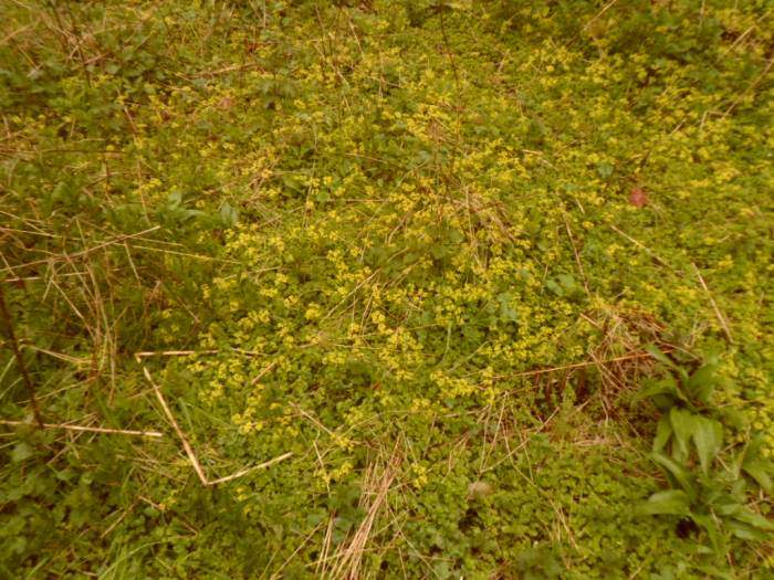 And golden saxifrage