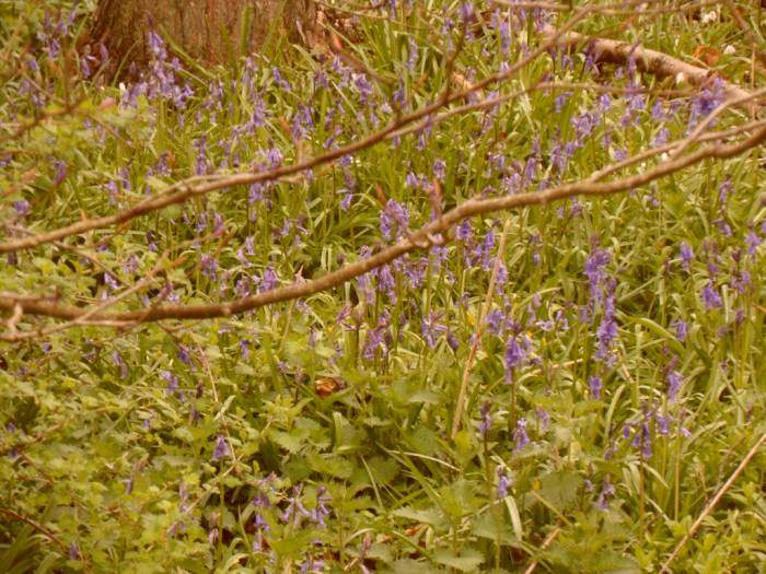 Bluebells out
