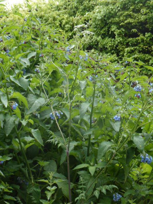 Blue comfrey - not a common sight