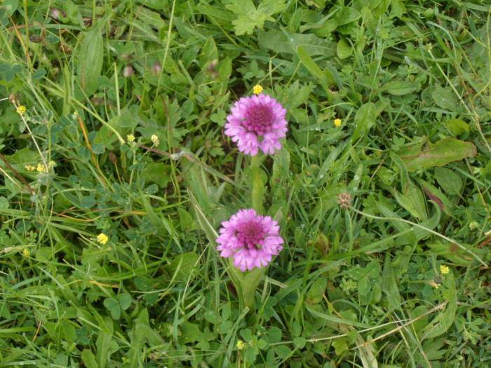 Just below the Amberley Inn we come across Pyramidal Orchids