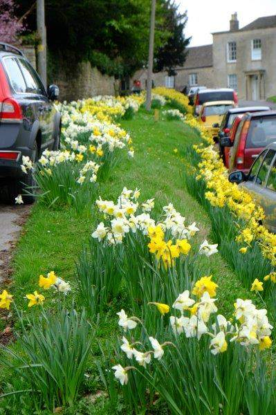 Fine display of daffs along the road in Uley