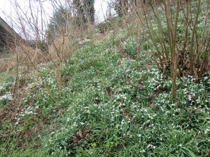 The end of the snowdrops