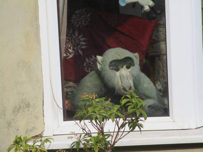 Strange resident of Woodchester - thought the primates came from Uley!