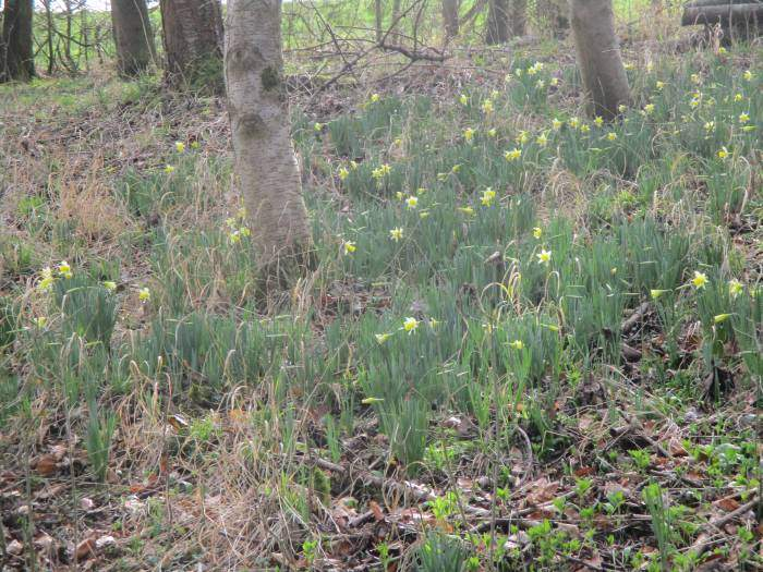 These look more like wild daffodils