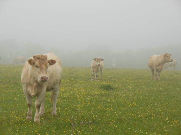 Are these British Charolais cattle?