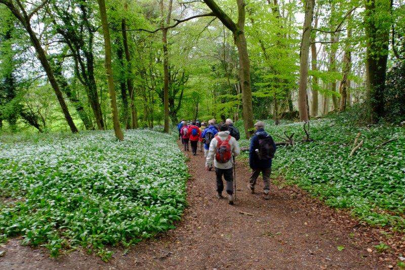 Wild garlic out in force
