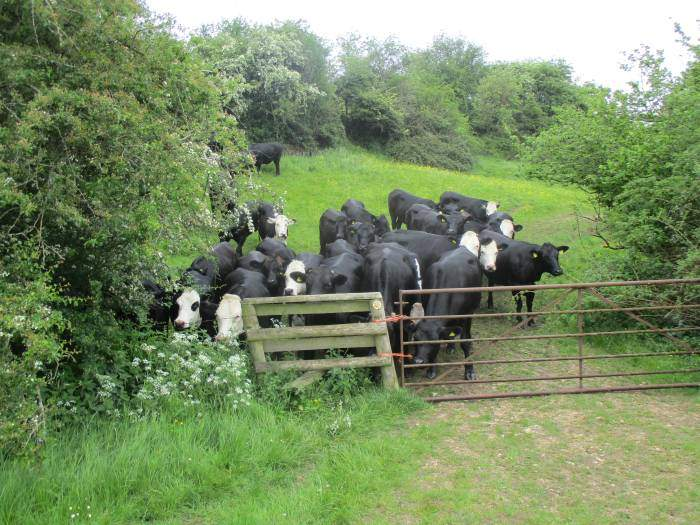 We negotiate a field of extremely frisky cattle - very glad to have an ex-dairy farmer as our leader