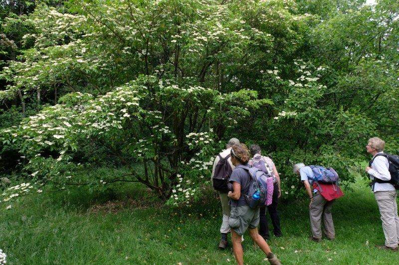 Into the Arboretum. Graham pointing out the interesting trees. This is Cornus drummondii (Dogwood)