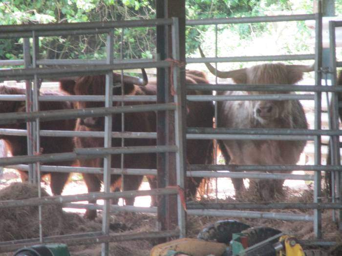 Highland cattle in the shed. There is an event on at Gatcombe so that might be why they are not out in the fields