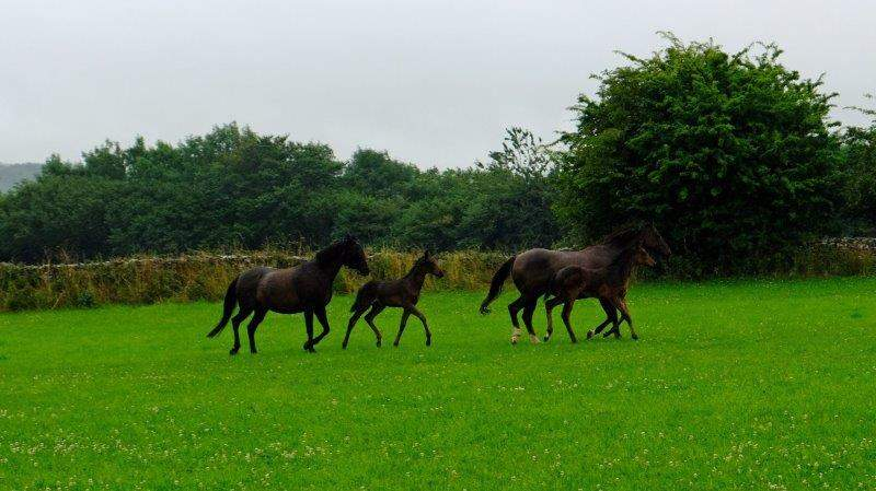 As we leave Bisley we spot some mares and foals getting their morning  exercise