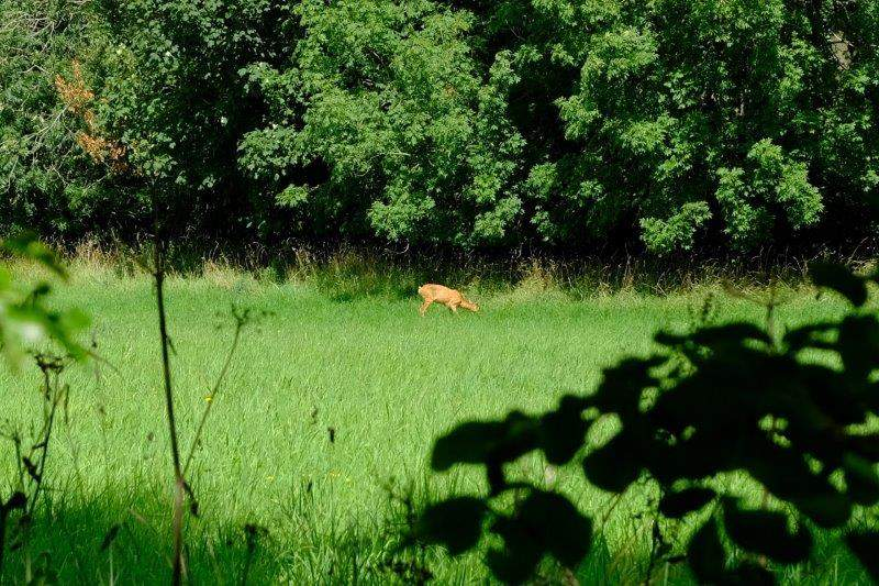 A deer spotted across the field