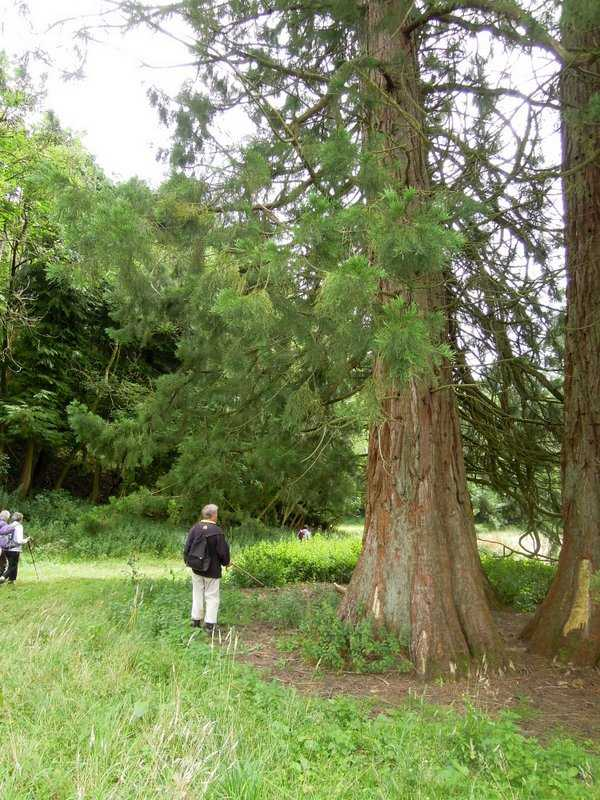 Graham points out a giant redwood tree