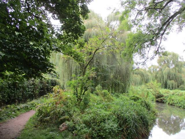 Some amazing weeping willows
