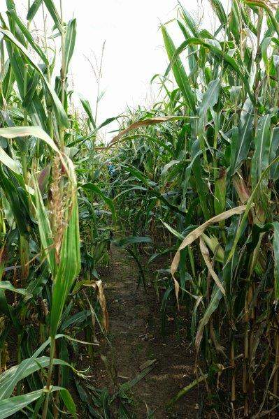 A field of maize