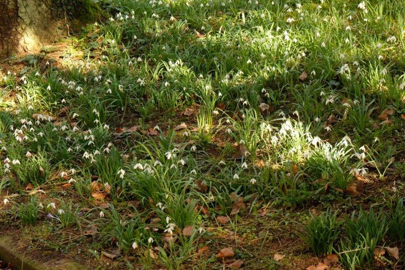 Today's snowdrops