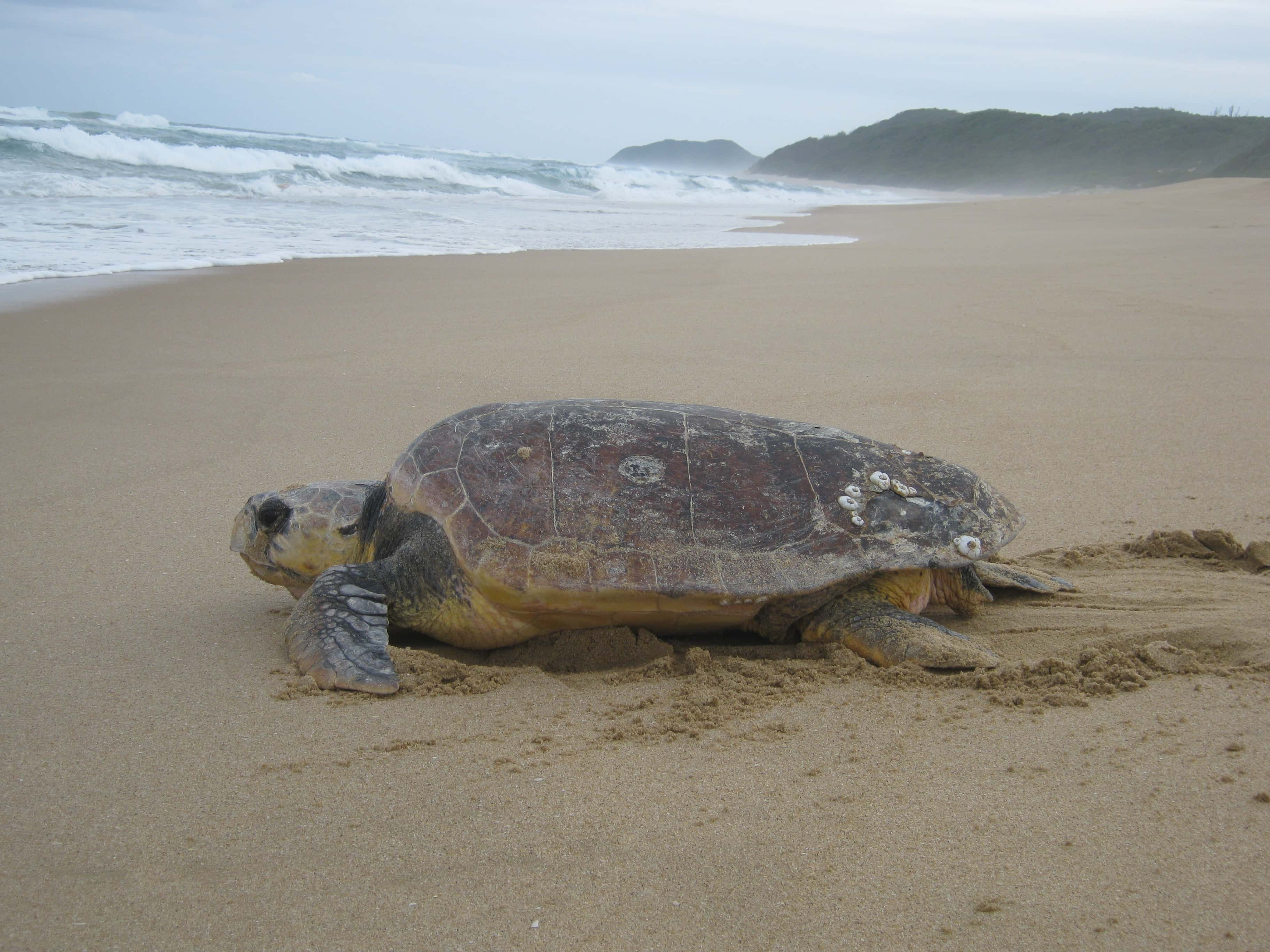 Tracking Turtles One Of The Most Moving Wildlife Encounters