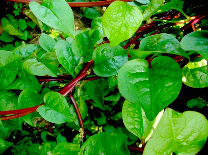 Red Malabar Summer Spinach, 1 g : Southern Exposure Seed