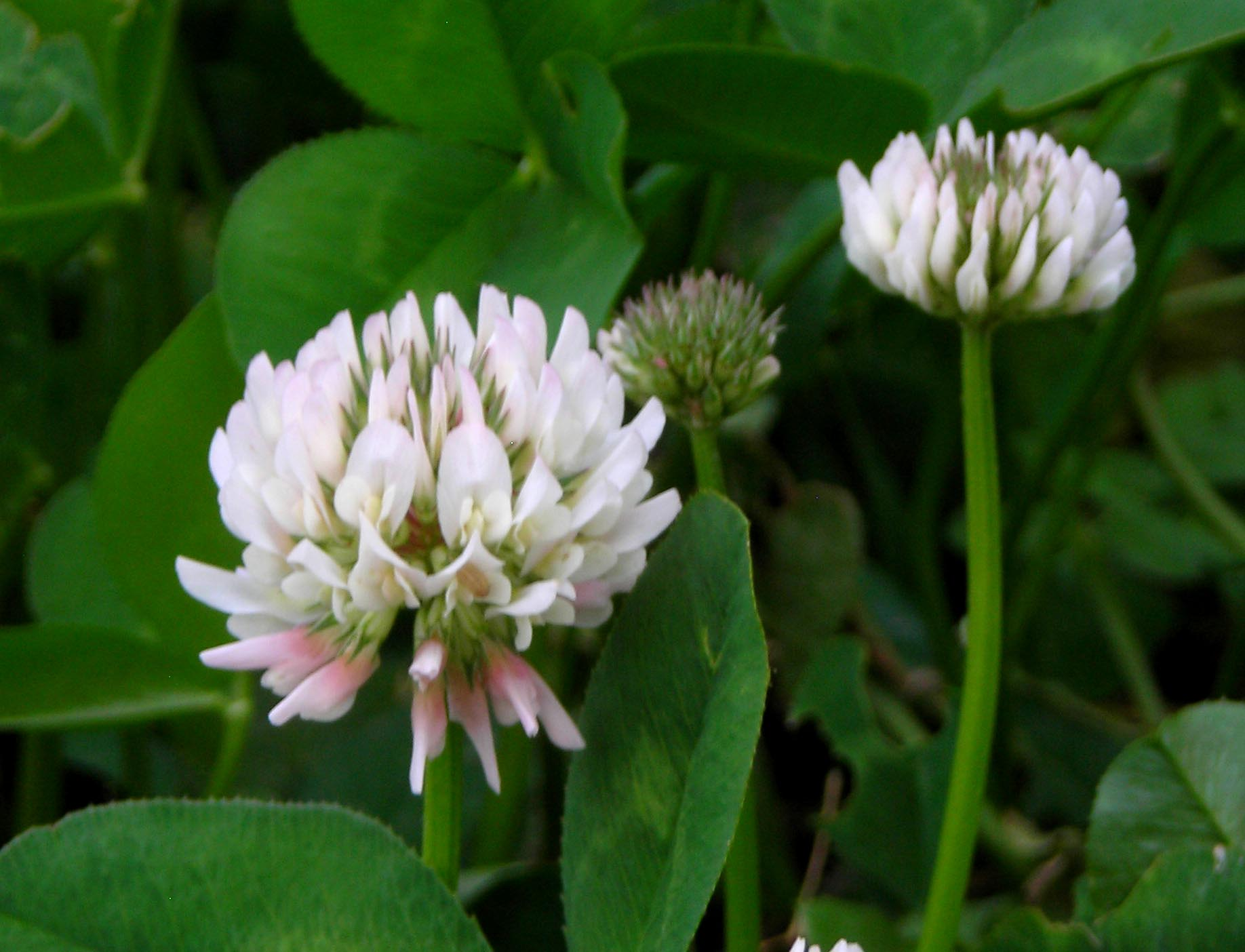 Clover White Dutch 14 Lb Southern Exposure Seed Exchange Saving The Past For The Future