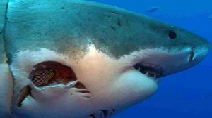 Severely injured great white shark found, are scientists ...