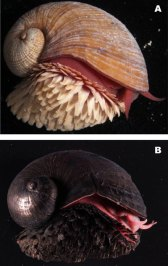 Scaly-foot Snail. Image courtesy JAMSTEC - http://www.jamstec.go.jp/j/about/press_release/20101213/