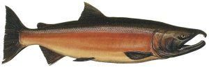Coho salmon - public domain image