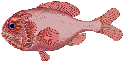 Orange Roughy - image by FishBase artist Robbie Cada