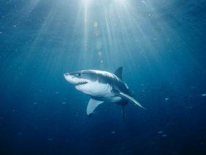 Great White Shark. Image courtesy animals.NationalGeographic.com
