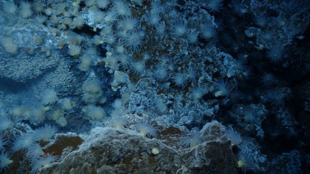 Anemones, Snails, Shrimp, and Bacterial Mats at the Beebe/Piccard Hydrothermal Vent Field, Mid-Cayman Spreading Center. NERC