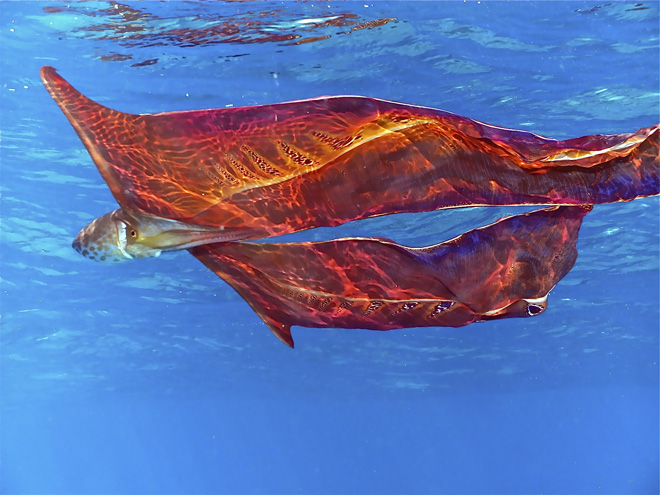 Blanket Octopus - photo by Steve Hamedl