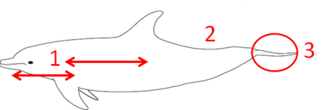 Drawing of a bottlenose dolphin. Image via WikiMedia Commons, user Chris Huh. http://en.wikipedia.org/wiki/File:Bottlenose_dolphin_size.svg