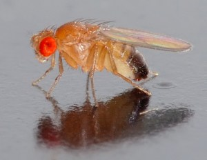 Side view of a  a 0.1 x 0.03 inch (2.5 x 0.8 mm) small male fruit fly. Credit: André Karwath