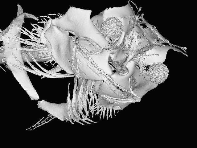 Etomopterus sheikoi