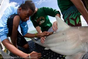 A high school student gets to interact with a large blacktip shark