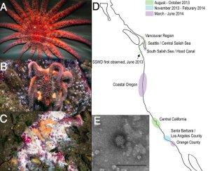 The sea star death march: A) A healthy sunflower sea star B) An infected sea star C) A sea star goo pile D) Disease occurrence E) The viral culprit  (Photo Credit: Hewson et al., PNAS)
