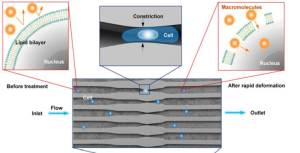 Illustration of delivery hypothesis whereby the rapid deformation of a cell, as it passes through a microfluidic constriction, generates transient membrane holes.  (Photo credit: Sharei et al. 2013, PNAS)