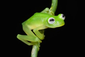 A new species of glass frog named Hyalinobatrachium dianae. (Photo credit: Brian Kubicki)