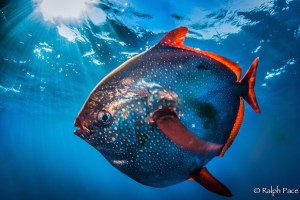 Opah off the coast of southern California. (Photo credit: Ralph Pace Photography)