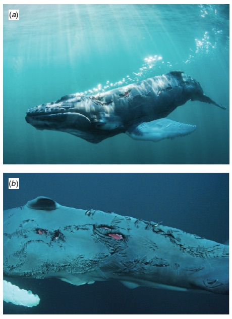 Dusky shark bites on a humpback whale calf. From Dicken et al. (2014).