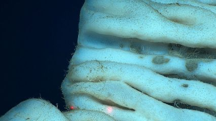 Close-up of a large hexactinellid sponge found in Papahānaumokuākea Marine National Monument (Photo credit: NOAA's Office of Exploration and Research)