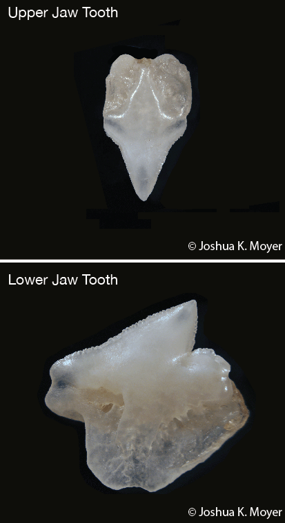 A tooth from the upper jaw (top picture) and lower jaw (bottom picture) of a Gulper Shark.
