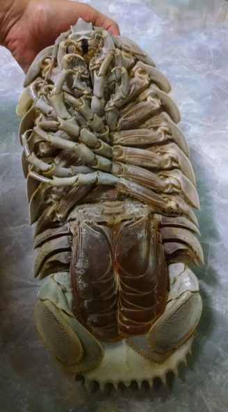 Adopt The Giant Deep Sea Isopod Bathynomus Giganteus As The