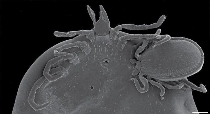 A scanning electron micrograph shows an engorged female Ixodes angustus tick with a male I. angustus attached to its underside in typical feeding mode—a case of hyperparasitism presumed uncommon in the species. (Image originally published in Durden et al 2018, Journal of Medical Entomology)